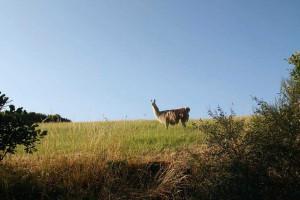 Lama in Obereisenbach zu Besuch